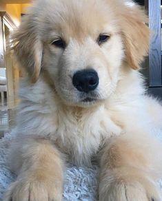 Golden retriever puppy #goldenretriever