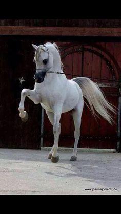 ~¤¤§ Arabian horse §¤¤~