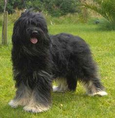 The Cão da Serra de Aires is a dog breed native to Portugal.  It is believed that it dates back to the Brie Shepherd dogs that led Portugal Count of Castro Guimaraes early nineteenth century. Other authors point to the pastor Catalan Portuguese origin of this breed. Strong character, this dog care herds intended is equally intelligent and vivacious.