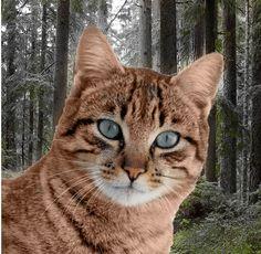 Achtergrond vervaagt met spons, ogen andere kleur, kat vervaagt behalve de ogen en de snuit, kat een andere kleur gegeven in overvloeimodus, hooglichten/schaduwen toegepast