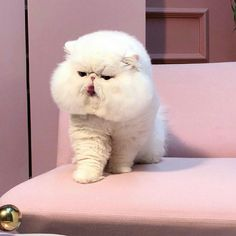 Funny Animal Memes, Funny Animals, Cute Animals, Fancy Cats, Cute Cats, Mr Cat, Exotic Shorthair, Pets 3, Cute Animal Pictures