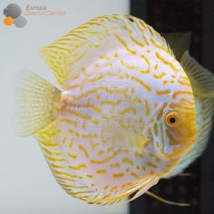 Golden Striped Discus                                                                                                                                                                                 More