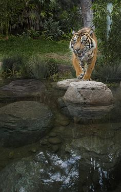 On the prowl at the Safari Park's #Tiger Trail.