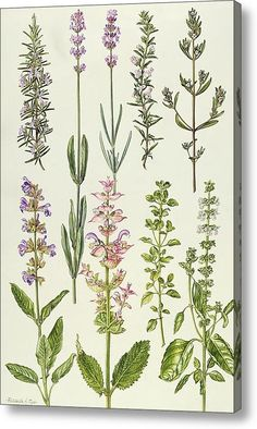 Rosemary And Other Herbs botanical print by Elizabeth Rice