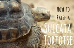 This article will tell you everything you need to know before you get your new pet Sulcata tortoise! Also referred to as African spurred tortoises, these reptiles make great pets and companions, but require a significant amount of preparation and care. Tortoise As Pets, Tortoise House, Tortoise Food, Tortoise Habitat, Turtle Habitat, Baby Tortoise, Sulcata Tortoise, Tortoise Care, Tortoise Turtle