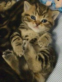 Cute Little Kittens, Kittens Cutest, Pretty Cats, Beautiful Cats, Cute Baby Animals, Animals And Pets, Cool Cat Trees, Cute Cats Photos, Photo Chat