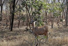 Ranthambore National Park is one of the biggest national parks in India, protecting the Royal Tigers. Ranthambore was maharajas' favorite hunting spot in ancient times. Presently this park is a famous tourist spot attracting wildlife lovers and photographers alike to spend exciting Ranthambore tours.