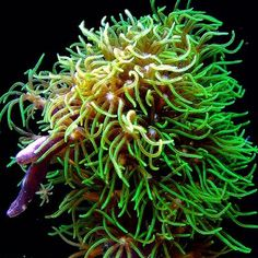 green star polyps GSP They are highly aggressive WhilenGSP do