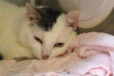 URGENT! Banjo 21549 4 year old BANJO was part of a hoarding case when owner passed away in January, Owner's girlfriend has been taking care of the animals, but she herself has health issues and had to surrender to the shelter .Please help this sweet cat today!