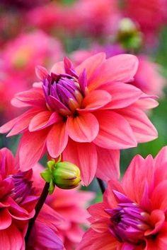 Dahlias Dahlias | Backyards Click