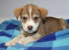 Cubby is an adoptable Labrador Retriever Dog in Marietta, OH. 'Cubby' is a cute 2-month old male Labrador Retriver/Terrier mix puppy who was surrendered by his owner on June 8, 2012 along with his six...