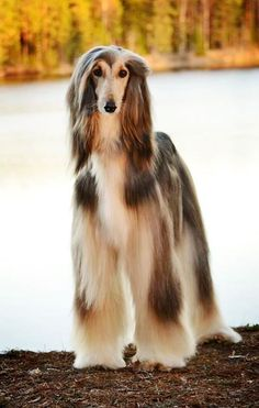 best images, photos and pictures ideas about afghan hound dog - oldest dog breeds I Love Dogs, Cute Dogs, Hound Dog Breeds, Photo Animaliere, Cockerspaniel, Australian Shepherd Dogs, Golden Retriever, Tier Fotos, Old Dogs