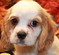 A sweet Cockalier: I want this dog! Cocker Spaniel/ Cavalier King Charles Spaniel mix! So cute!