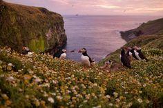 "silvesterphoto: ""Puffins on Skomer, Wales """