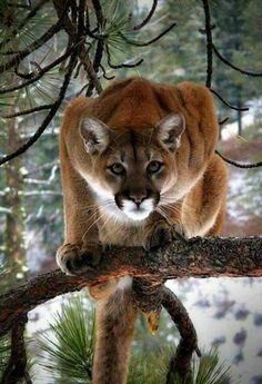 A mountain lion (aka puma, cougar) scans for food and danger from the safety of a tree. Nature Animals, Animals And Pets, Cute Animals, Wild Animals, Wildlife Nature, Big Cats, Cats And Kittens, Cute Cats, Small Wild Cats