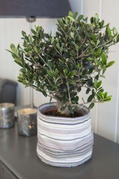Oliventre i grow-in selvvanningspotte: http://www.mestergronn.no/blogg/grow-in-potter-i-nye-farger/