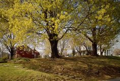 Sugar Maple in Spring: The Sugar Maple was adopted as the West Virginia State Tree on March 7, 1949.