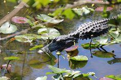 American Alligator at Shark Valley