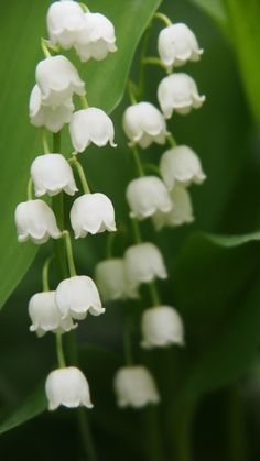 Lily Of The Valley Flowers, Flanders Field, Beautiful Nature Wallpaper, Birth Flowers, Flower Wallpaper, Amazing Flowers, Studio Ghibli, My Flower, Nature Photos