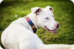 Dayton, OH - American Pit Bull Terrier Mix. Meet Luna a Dog for Adoption.