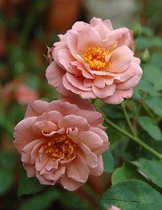 ~Floribunda Rose: Rosa 'Lavender Pinocchio' (U.S., 1948)