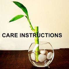How to care for your bamboo. I would also add to the care instructions that if you leave bamboo in direct sunlight, it will get burnt (the stock will turn really yellow and eventually will die), so alternate between having it in the sun and having it in a shady spot.