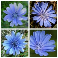 Common chicory, Cichorium intybus, is a somewhat woody, perennial herbaceous plant usually with bright blue flowers, rarely white or pink. Wikipedia Scientific name: Cichorium intybus Higher classification: Cichorium Rank: Species Lower classifications: Radicchio, Cichorium intybus