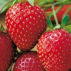"""Sorte Die Früchte der """"Honeoye"""" sind gleichmäßig groß und mittelrot. Sie hat einen säuerlich-fruchtigen Geschmack und liefert hohen Ertrag. Diese robuste Frühsorte ist sehr widerstandsfähig gegenüber Mehltau und gut pflückbar. Ob einfach pur genossen, in Desserts mit Joghurt, kreativen Salaten oder einfach als Marmelade, Erdbeeren sind in jeglicher Form ein Hochgenuss und für viele das Highlight des Gartenjahres. Das beliebte Rosengewächs lässt sich schon auf kleinstem Raum anbauen und… Strawberry, Fruit, Desserts, Powdery Mildew, Harvest Season, Mulches, Marmalade, Strawberries, Simple"""
