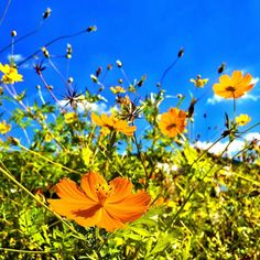 Beautiful autumn flowers in Fukuoka Japan Info, Japanese Nature, Autumn Flowers, Different Seasons, Fukuoka, Yellow And Brown, Travel Around, Beautiful Flowers, Natural Beauty