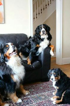 Let's call this meeting to order  (Bernese Mountain Dogs)