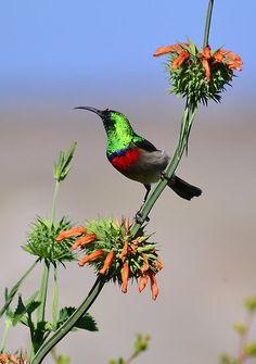 'Sunbird on Wild Dagga Plant' by HippyDi Most Beautiful Birds, Pretty Birds, Beautiful Horses, Tropical Birds, Colorful Birds, South African Birds, Cosmos Flowers, Kinds Of Birds, Bird Pictures