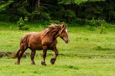 red dun mustang mare - Google Search