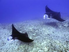 Manta rays are some of the ocean's largest, most graceful creatures. Read on to discover 5 interesting facts about manta rays! Hawaii Vacation, Hawaii Travel, Travel Usa, Manta Ray Facts, Places To Travel, Places To Go, Kona Hawaii, Kailua Kona, Big Island Hawaii