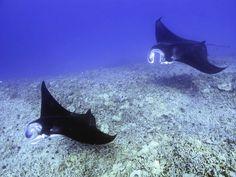 Hahalua: The Hawaiian Manta Ray
