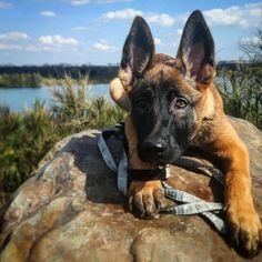 Beau Belgian Malinois   Pawshake Big Dogs, I Love Dogs, Cute Dogs, Dogs And Puppies, Belgian Shepherd, German Shepherd Dogs, Belgian Malinois Puppies, Cute Dog Collars, Rottweiler