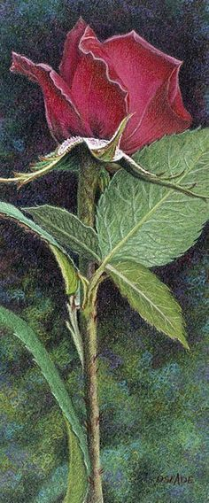 Donna Slade colored pencil the artist really brings 'life' to the rose