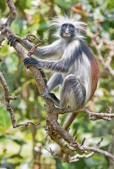 Red colobus monkey, Zanzibar. The Zanzibar Red Colobus monkey is one of the most endangered species of primates in the world with less than 2,000 individuals remaining.
