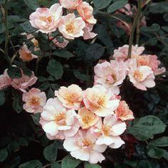 Clair Matin - David Austin Roses
