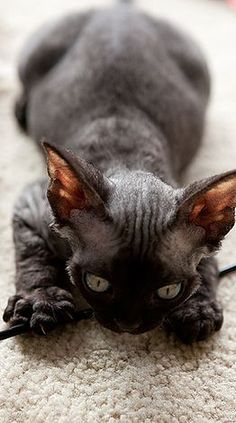 Photos of our Devon Rex cats and kittens … and like OMG! get some yourself some pawtastic adorable cat apparel!