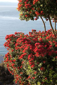 New Zealand's Summer Christmas Tree – The Pohutukawa - All the inspiration we need! What A Wonderful World, Beautiful World, Beautiful Places, Auckland, Summer Christmas, Christmas Tree, New Zealand Holidays, New Zealand Houses, Famous Castles