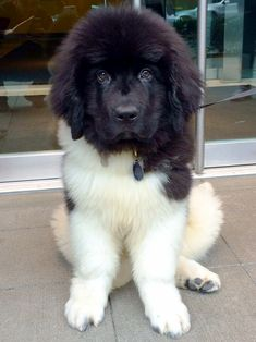 Best Newfoundland Chubby Adorable Dog - 563db7ce2a7caf7732f12c9d7b6055be--newfoundland-dogs-big-dogs  Image_139267  .jpg