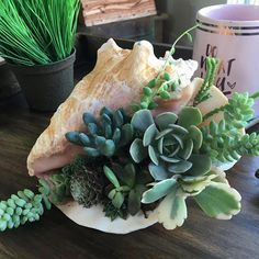 Handmade in Redondo Beach, California. Bring the beach, and a bit of the island life, to your home with this beautiful live succulent arrangement planted within a large pink conch shell. Types Of Succulents, Colorful Succulents, Succulents In Containers, Cacti And Succulents, Planting Succulents, Succulents Wallpaper, Succulents Drawing, Propagating Succulents, Succulent Centerpieces