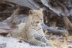 """Pretty Lady"" by Kerrie Page: This leopard had just finished a meal of impala and was resting in the sun."