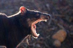 Tasmanian Devil, Tasmania, Australia by Izzy Unger, M. Vocal Exercises, Vocal Coach, Tasmanian Devil, Singing Tips, Photo Galleries, Coaches, World, Flora, Wanderlust