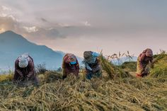 Nepalese woman harvesting rice in Kathmandu valley Nepal, Hiking Boots, Green, Rice, Woman, Heart, Clothing, Walking Boots, Outfit