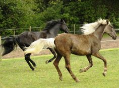 Someday I'll have two Rocky Mountain Horses, one for me and one for Lily