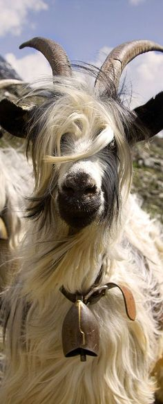 a Goat from Switzerland