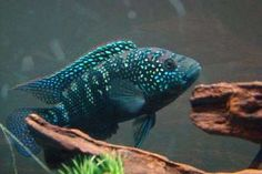 Got one if these too...Jack Dempsey, South American Cichlid.
