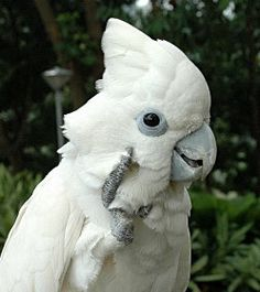 Cacatua ducorpsii -  Solomans Cockatoo. Found in the Soloman Islands.