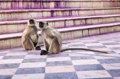 Langurs, Pushkar | von Marji Lang Photography